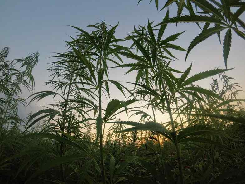 Le piante di cannabis assorbono i metalli pesanti dal terreno migliorandone le condizioni fisiche